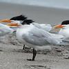 Royal Terns, Cocoa Beach, Florida