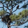 Eagle at nest, Stuart, Florida