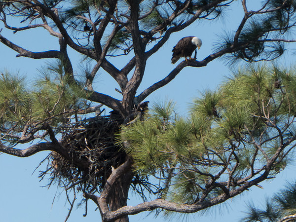 Eagle at nest, Stuart, Florida