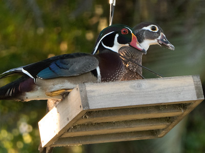 Wood ducks, Stuart, Florida
