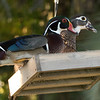 Wood ducks, Stuart, Florida