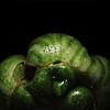 mutant green tomato