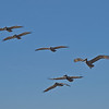 Pelicans. Topsail Island, North Carolina.
