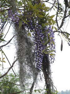 Spanish moss and wisteria. Magnolia Plantation Gardens