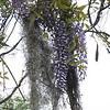 Spanish moss and wisteria. Magnolia Plantation Gardens