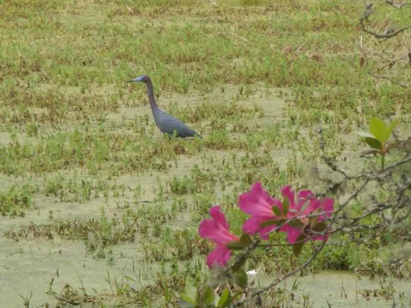 Little Blue Heron. Audubon Swamp Garden, Magnolia Plantation Gardens