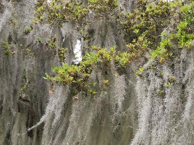 Spanish moss. Jekyll Island, Georgia