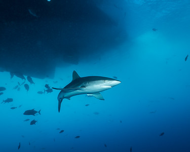 The best place for silky shark encounters in the Socorros were usually right under the boat!