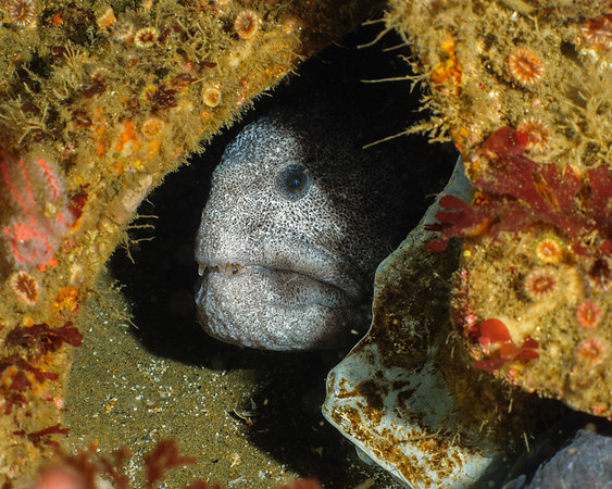 Not a true eel due to paired gill slits and pectoral fins, the wolf eel mates for life.