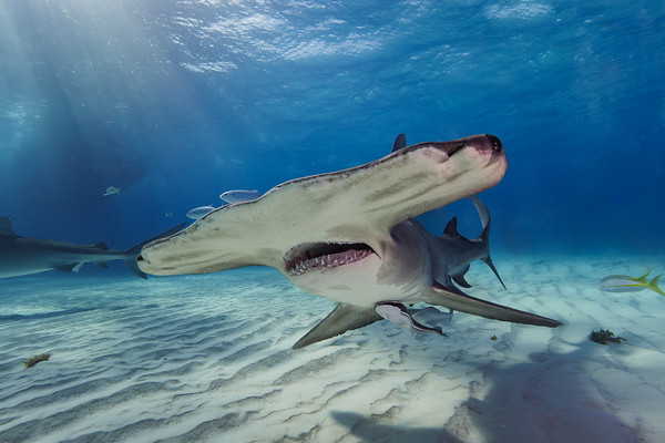 "The great hammerhead shark named ""Patches"" is the fan favorite of Tiger Beach Grand Bahamas"