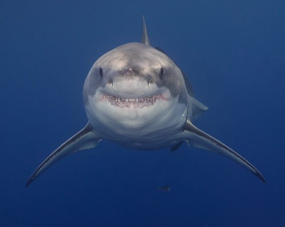 A beautiful great white shark smiles for a photo in Guadalupe, Mexico.