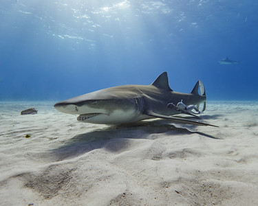 A lemon shark resting peacefully in the sand at Tiger Beach.