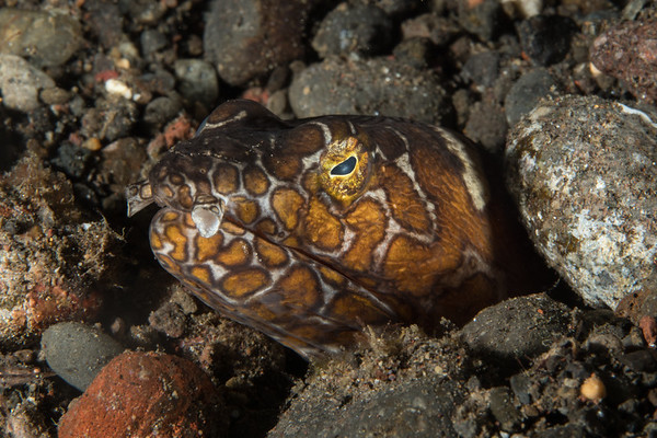 A napoleon snake eel peeks its head out of a hole in Amed, Bali, Indonesia.
