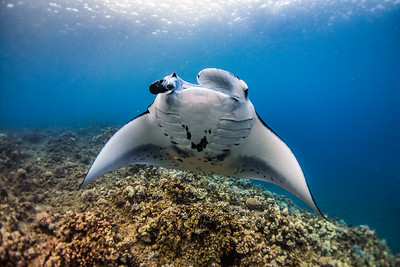 Mighty Manta Ray, mini cleaner wrasse.