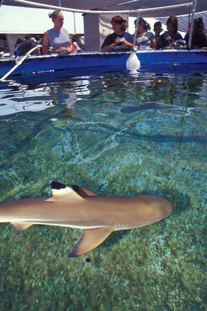 Blacktip Sharks
