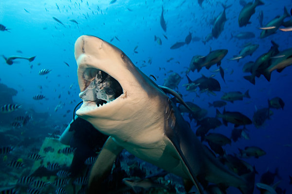 Rusi Balenagasau of Beqa Island hand-feeds bull shark, Carcharhinus leucas, Shark Reef Marine Reserve, Beqa Passage, Viti Levu, Fiji ( South Pacific )
