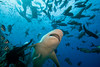 'Crook' a bull shark that has been measured at longer than ten feet, Carcharhinus leucas, Shark Reef Marine Reserve, Beqa Passage, Viti Levu, Fiji ( South Pacific )