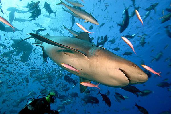 Ten foot bull shark, Carcharhinus leucas, Shark Reef Marine Reserve, Beqa Passage, Viti Levu, Fiji ( South Pacific )