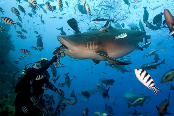 Rusi Balenagasau of Beqa Island hand-feeds large bull shark, Carcharhinus leucas, Shark Reef Marine Reserve, Beqa Passage, Viti Levu, Fiji ( South Pacific )