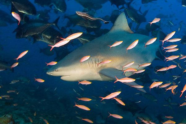 Bull shark, Carcharhinus leucas, Shark Reef Marine Reserve, Beqa Passage, Viti Levu, Fiji ( South Pacific )