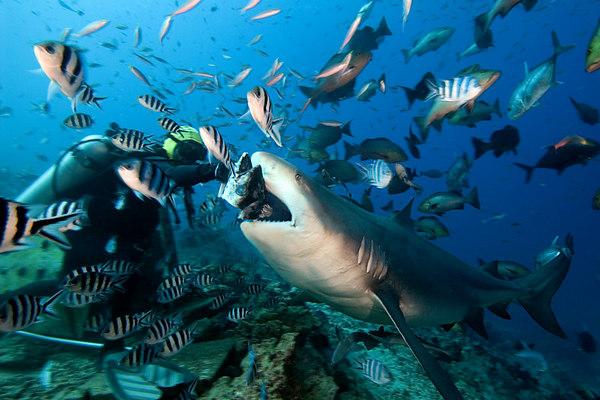 Rusi Balenagasau of Beqa Island hand-feeds huge bull shark, Carcharhinus leucas, Shark Reef Marine Reserve, Beqa Passage, Viti Levu, Fiji ( South Pacific )