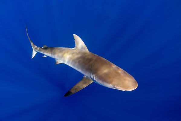 Galapagos shark, Carcharhinus galapagensis, open ocean, Hawaii, ( Central Pacific Ocean )