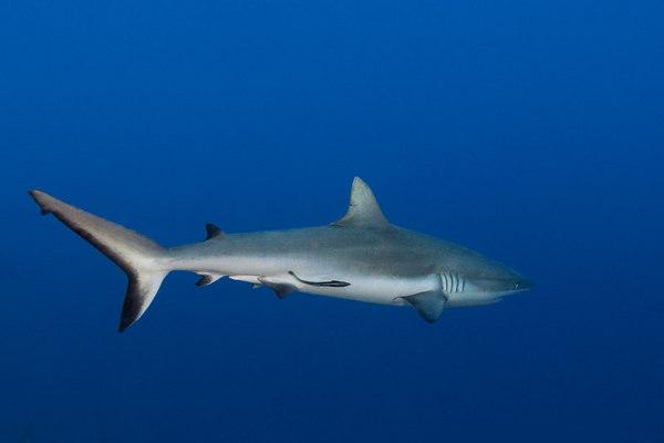 Gray Reef Sharks