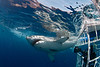 Photographer in anti-shark cage photographs great white shark, Carcharodon carcharias, Isla Guadalupe, Mexico ( Eastern Pacific Ocean )
