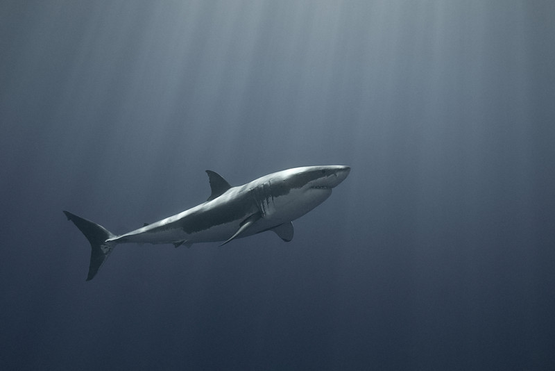 Toned image of great white shark, Carcharodon carcharias, Isla Guadalupe, Mexico ( Eastern Pacific Ocean )