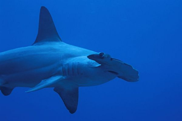 scalloped hammerhead shark, Sphyrna lewini, <br /> Kaiwi Point, Big Island, Hawaii,<br /> ( Central Pacific Ocean )<br /> 1