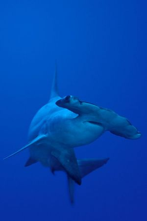 scalloped hammerhead shark, Sphyrna lewini, <br /> Kaiwi Point, Big Island, Hawaii,<br /> ( Central Pacific Ocean )<br /> 2