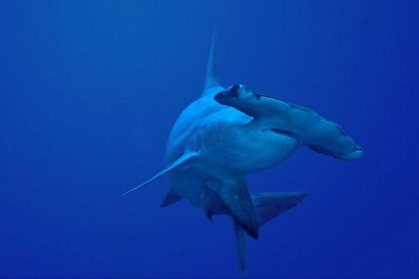 scalloped hammerhead shark, Sphyrna lewini,<br /> Kaiwi Point, Big Island, Hawaii,<br /> ( Central Pacific Ocean )<br /> 2