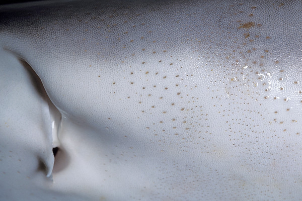 ampullae of Lorenzini of a Galapagos shark, Carcharhinus galapagensis, Hawaii, ( Central Pacific Ocean )
