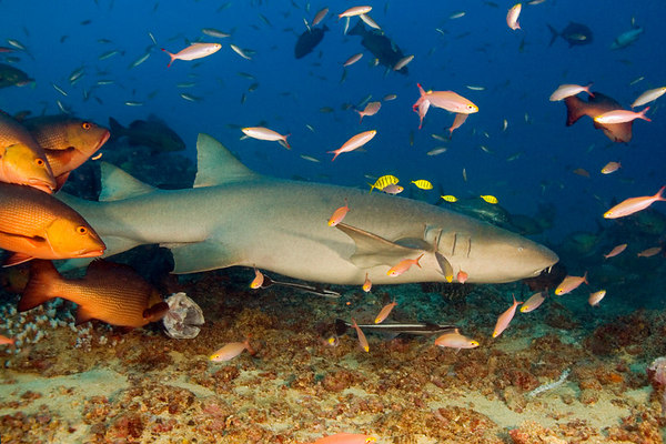 tawny nurse shark, Nebrius ferruguineus, Shark Reef Marine Reserve, Beqa Passage, Viti Levu, Fiji ( South Pacific )