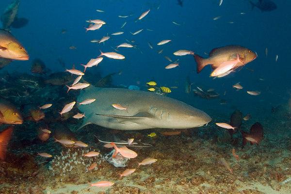 tawny nurse shark, Nebrius ferruguineus, Shark Reef Marine Reserve, Beqa Passage, Viti Levu, Fiji ( South Pacific )