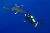 photographer Masa Ushioda photographs oceanic whitetip shark,Carcharhinus longimanus, accompanied by pilotfish (Naucrates ductor), open ocean, Hawaii ( Central Pacific Ocean )