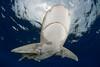 oceanic whitetip shark,Carcharhinus longimanus, open ocean, Hawaii, ( Central Pacific Ocean )