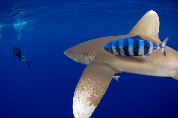 oceanic whitetip shark, Carcharhinus longimanus, approaches underwater photographer Masa Ushioda in the open ocean, Hawaii, ( Central Pacific Ocean )
