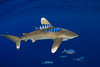oceanic whitetip shark,Carcharhinus longimanus, accompanied by pilotfish (Naucrates ductor), open ocean, Hawaii ( Central Pacific Ocean )