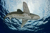 oceanic whitetip shark,Carcharhinus longimanus, open ocean, Hawaii, ( Central Pacific Ocean )
