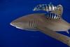 oceanic whitetip shark,Carcharhinus longimanus, accompanied by pilotfish (Naucrates ductor), open ocean, Hawaii ( Central Pacific Ocean ) (dc)