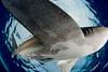 oceanic whitetip shark,Carcharhinus longimanus, passes directly overhead, Hawaii, ( Central Pacific Ocean )