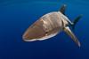 nictitating membrane covers eye as oceanic whitetip shark,Carcharhinus longimanus, approches photographer, open ocean, Hawaii, ( Central Pacific Ocean )