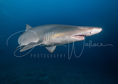 Sand Tiger in the Blue