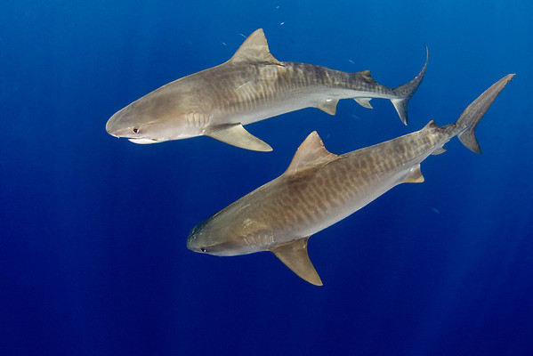 Tiger sharks, Galeocerdo cuvier, open ocean, Hawaii, ( Central Pacific Ocean )