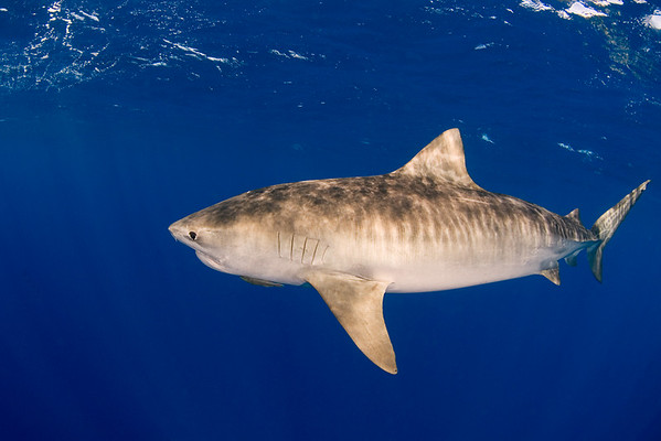Tiger shark, Galeocerdo cuvier, open ocean, Hawaii, ( Central Pacific Ocean )