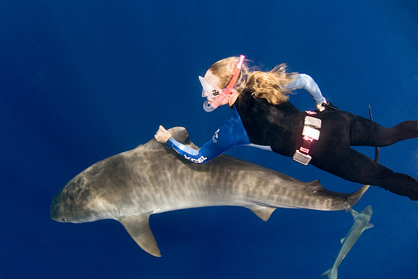 dive operator Stefanie Brendl hitches a ride on a tiger shark, Galeocerdo cuvier, open ocean, Hawaii, ( Central Pacific Ocean )