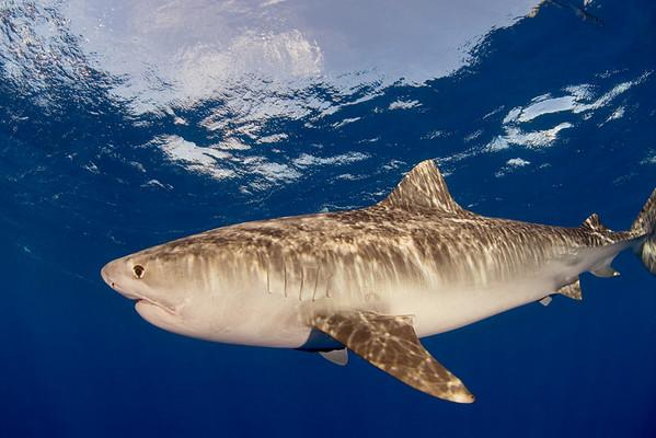 Tiger shark, Galeocerdo cuvier, open ocean, Hawaii, ( Central Pacific Ocean )