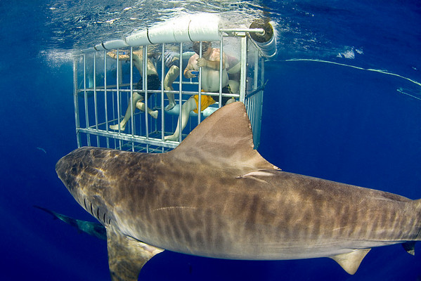 participants at a shark diving operation observie a very large tiger shark, Galeocerdo cuvier, from the safety of a shark cage, open ocean, Hawaii, ( Central Pacific Ocean )