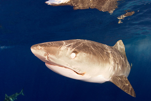 nictitating membrane or eyelid of a tiger shark, Galeocerdo cuvier, covers eye as shark nearly bumps into camera lens, note rusty fish hook hanging from jaw, open ocean, Hawaii, ( Central Pacific Ocean )